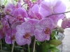 Lavendar Striped Phalaenopsis Orchids
