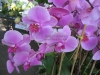 Light Lavendar Phalaenopsis Orchids