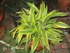 lemon-lime-dracena-1