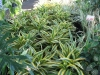 lemon-lime-dracena-2