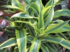 lemon-lime-dracena