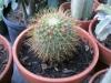mammillaria-cactus-1