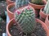mammillaria-cactus
