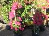 miami-pink-bougainvillea
