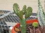 Opuntia Cactus