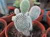 opuntia-cactus-1