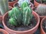 Peruvian Cactus