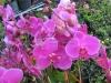 phalaenopsis-orchid-11