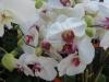 phalaenopsis-orchid-12