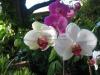 phalaenopsis-orchid-15