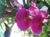 phalaenopsis-orchid-16