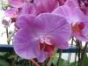 phalaenopsis-orchid-19