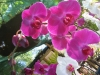 phalaenopsis-orchid-2