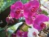 phalaenopsis-orchid-20