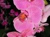 phalaenopsis-orchid-22