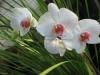 phalaenopsis-orchid-23