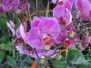 phalaenopsis-orchid-25