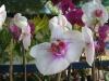 phalaenopsis-orchid-26