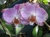 phalaenopsis-orchid-27