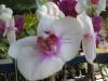 phalaenopsis-orchid-3