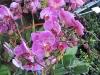 phalaenopsis-orchid-7