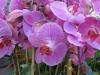 phalaenopsis-orchid-8