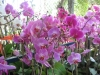 phalaenopsis-orchid-display