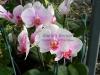 phalaenopsis-orchids-11