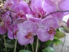 phalaenopsis-orchids-12