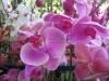 phalaenopsis-orchids-2