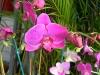 phalaenopsis-orchids-8