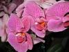 phalaenopsis-orchids