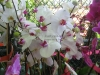pink-white-phalaenopsis-orchids