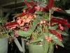 red-torch-begonias