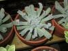 rosette-succulent-1