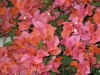 sundown-bougainvillea-2
