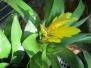 Torch Bromeliad