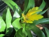 yellow-torch-bromeliads
