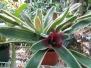 Tricolor Bromeliad