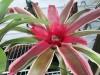 tricolor-bromeliad-1