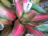tricolor-bromeliad-2