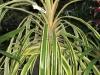 var-pineapple-bromeliad