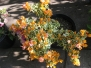 Var Yellow Bougainvillea Vine