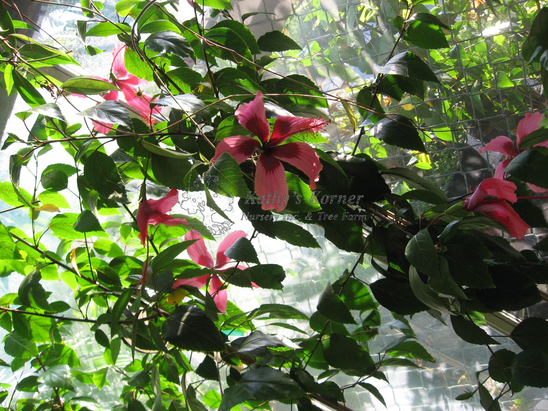 Figi Weeping Hibiscus Tree Kathys Korner